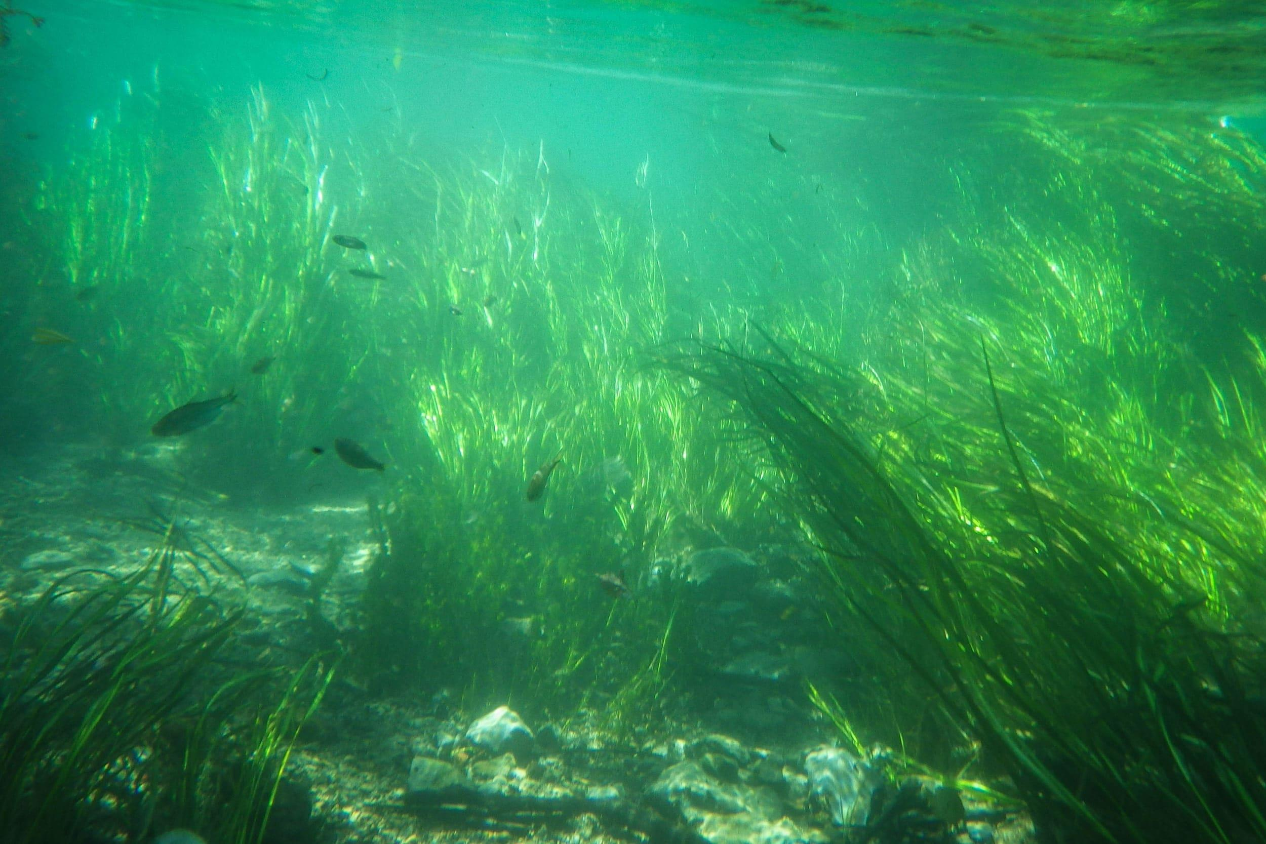 Underwater photo of Texas wild rice in shallow, clear water with gravel substrate in the San Marcos River