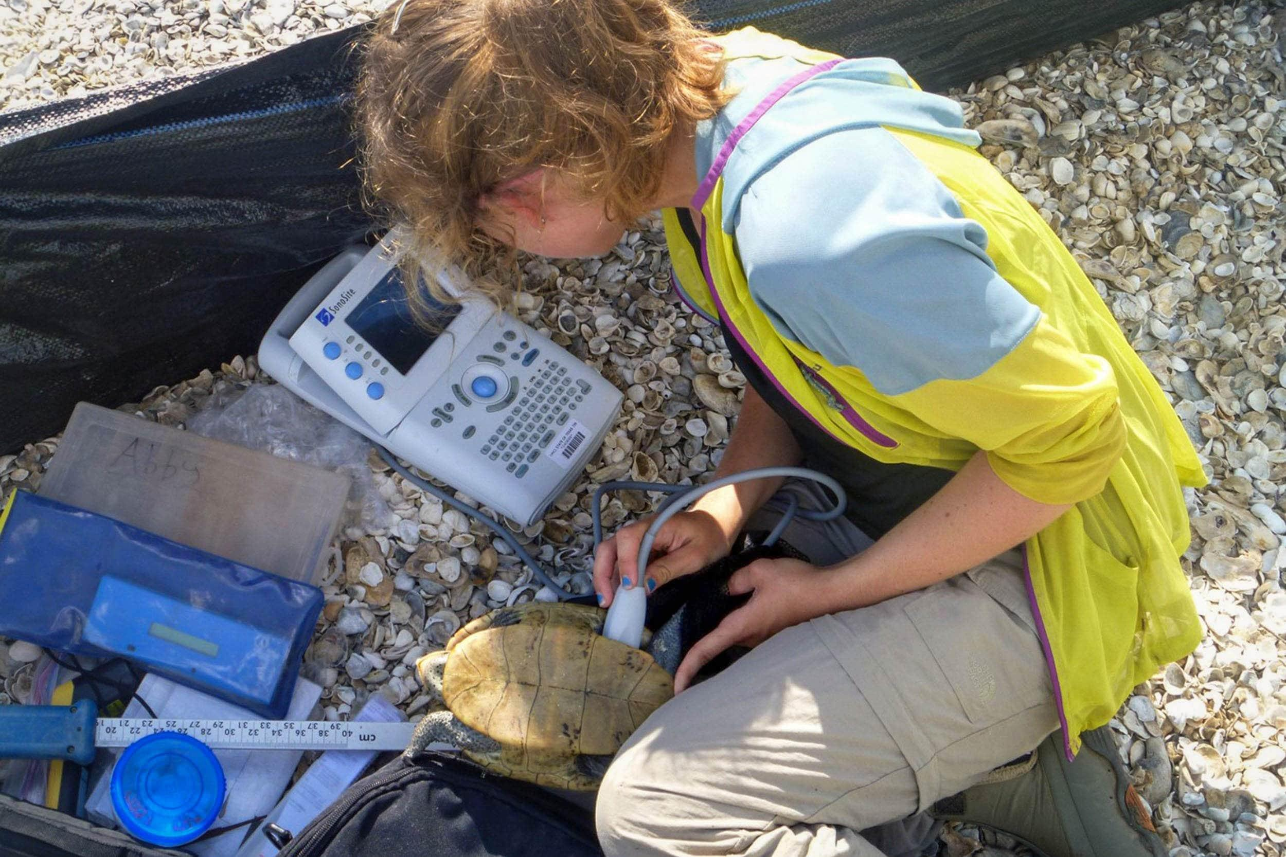 Rachel George uses ultrasound imaging on diamond-backed terrapin for her graduate research project.