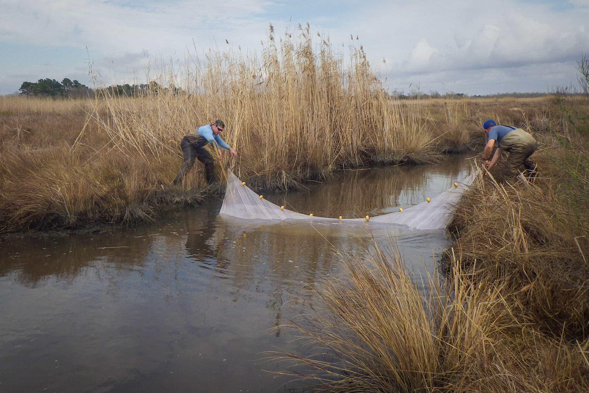 Seining for saltmarsh topminnow