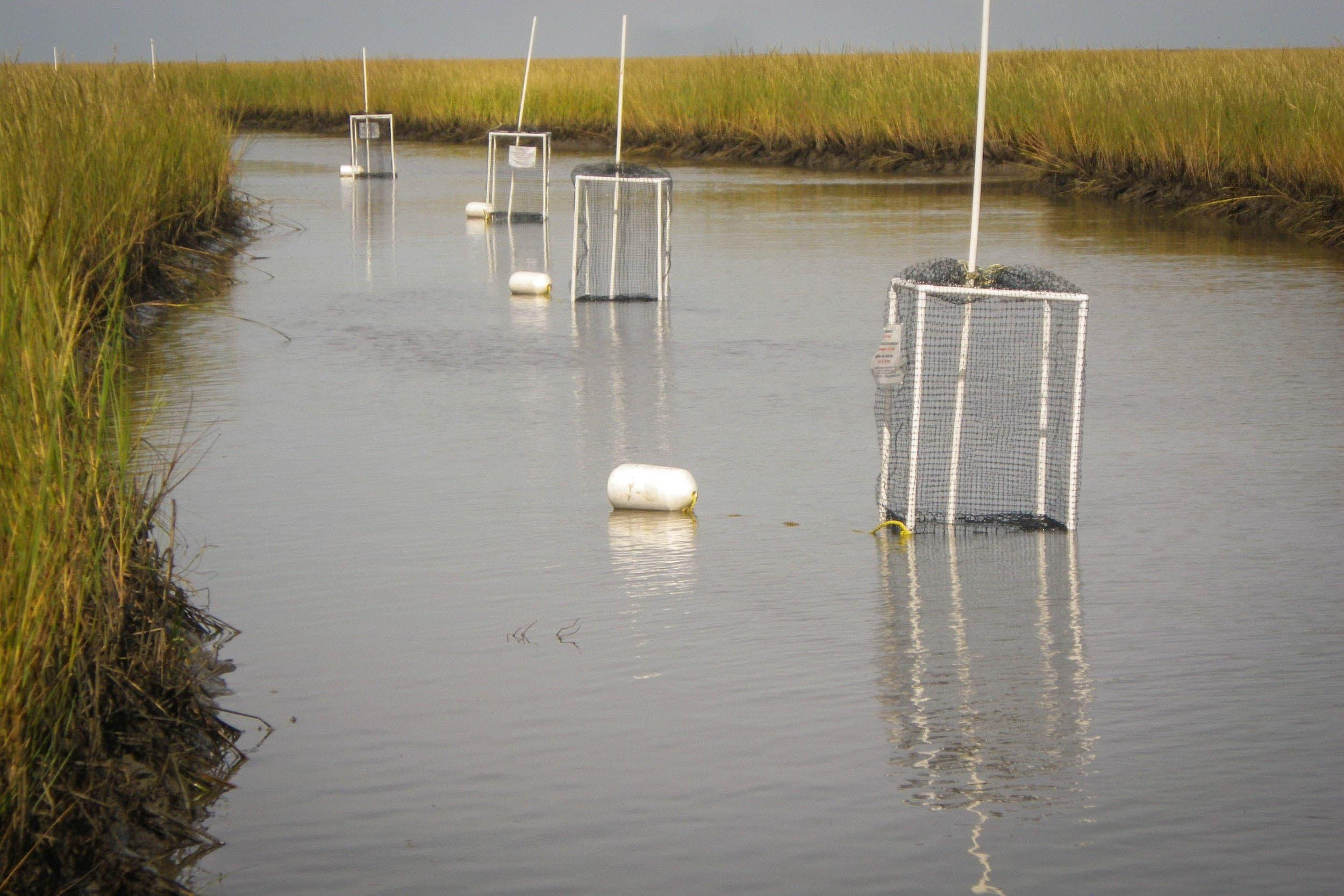 Modified crab traps deployed in a tidal creek
