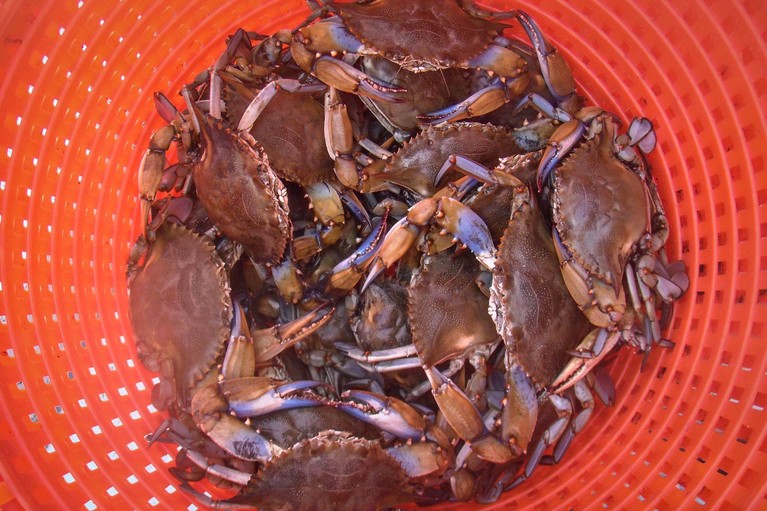 Blue crabs held in a basket after measurement, prior to release
