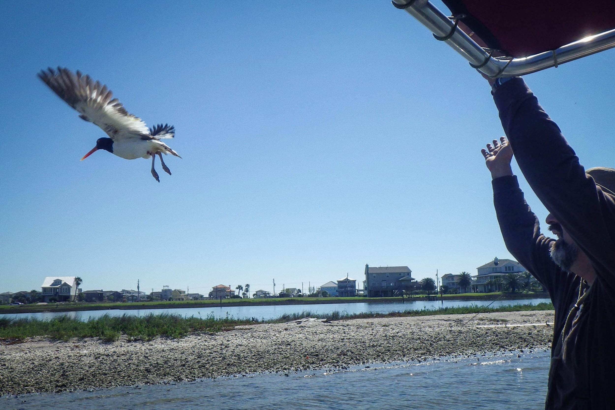 George Guillen, EIH executive director, releases a banded American oystercatcher (Haematopus palliatus)