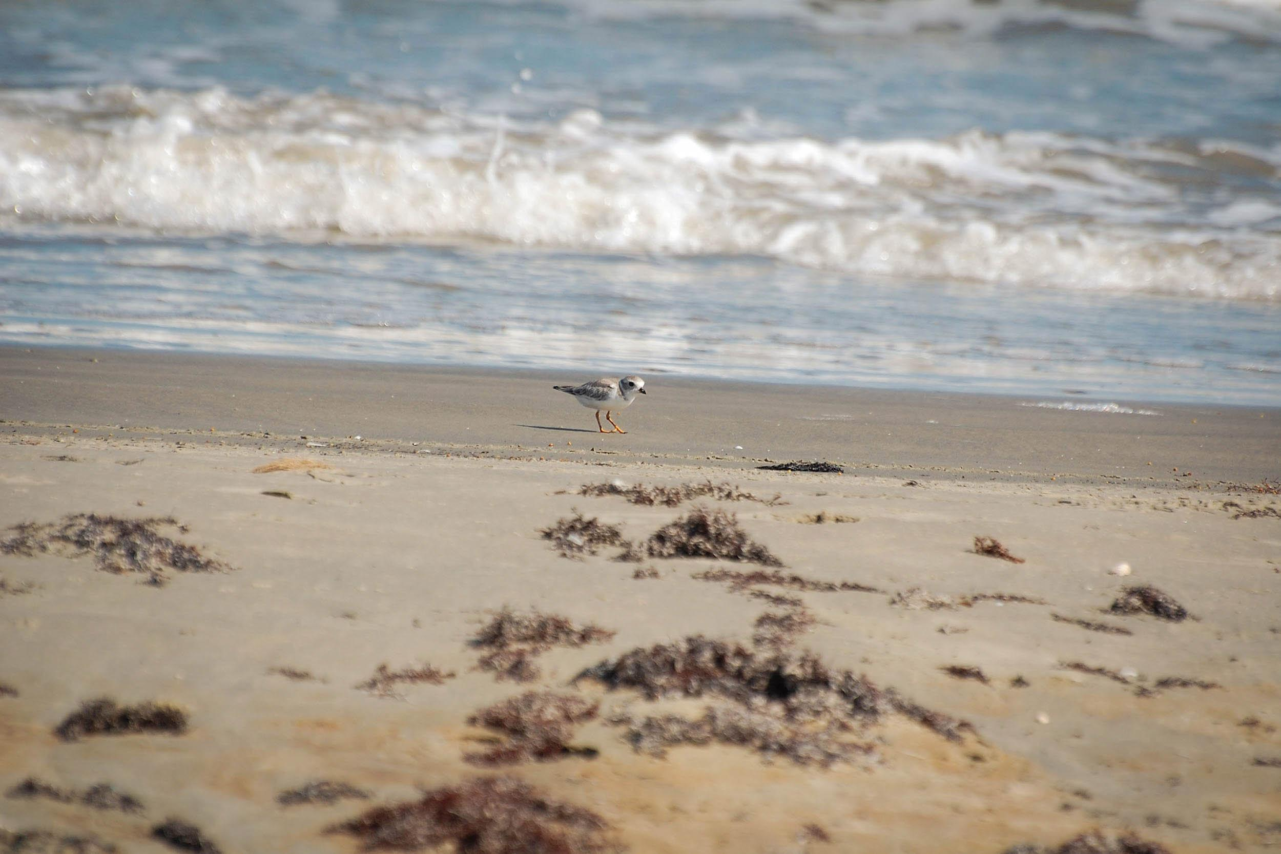 A piping plover feeds on the beach of Galveston Island, Texas