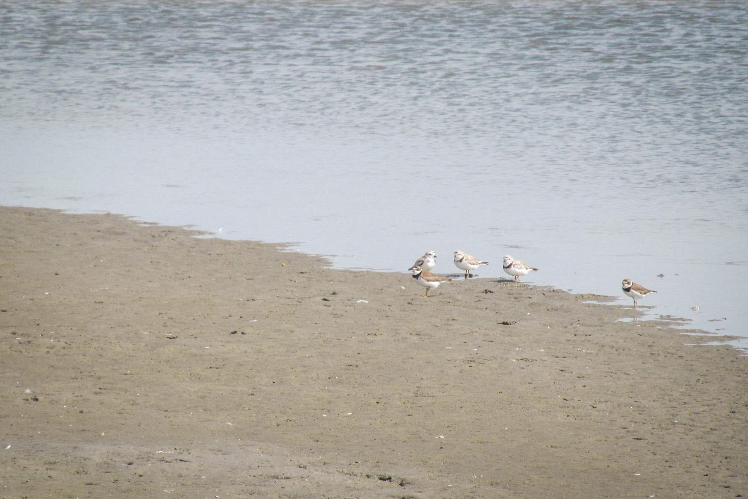 Three piping plovers (background) with two semipalmated plovers on the mudflats of San Luis Pass