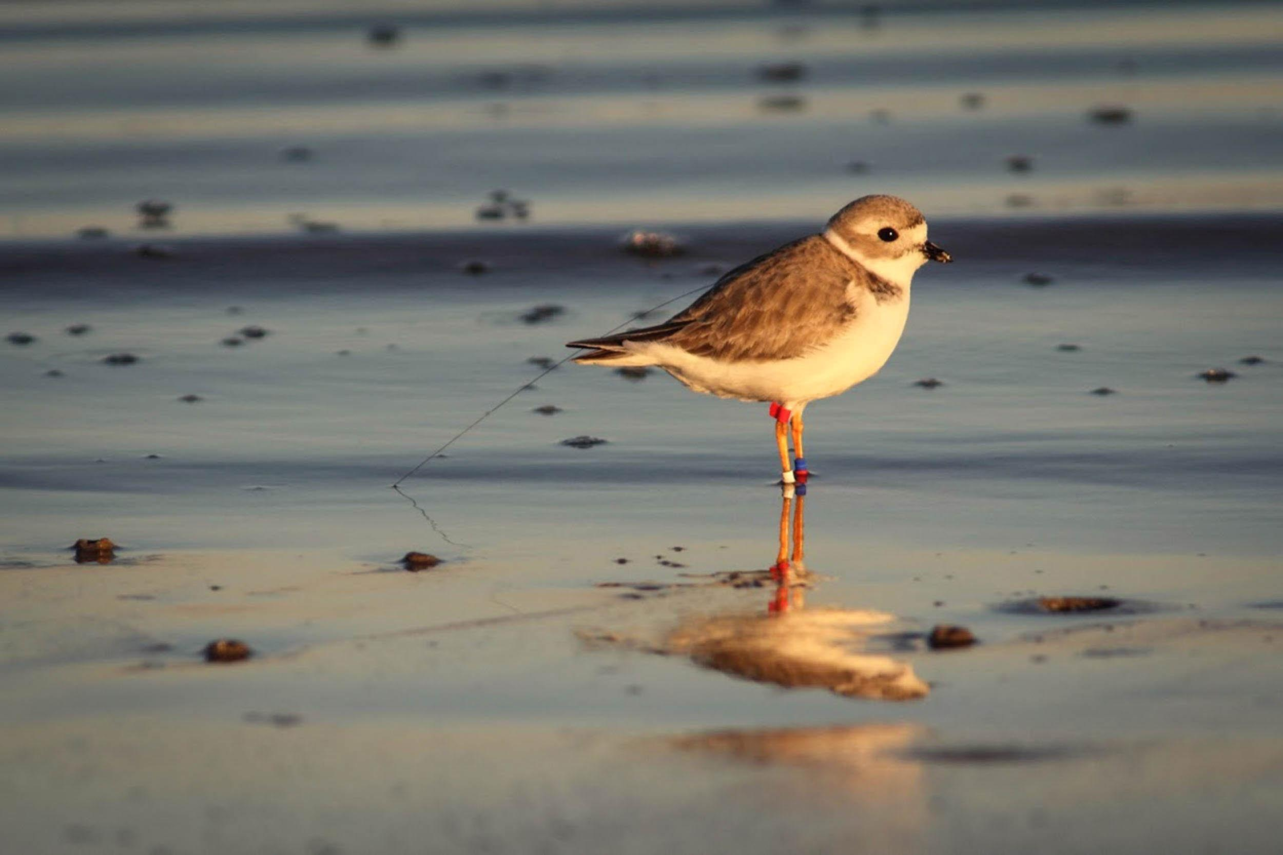 A banded and tagged piping plover, Bolivar Flats. Photo by Jennifer Wilson.