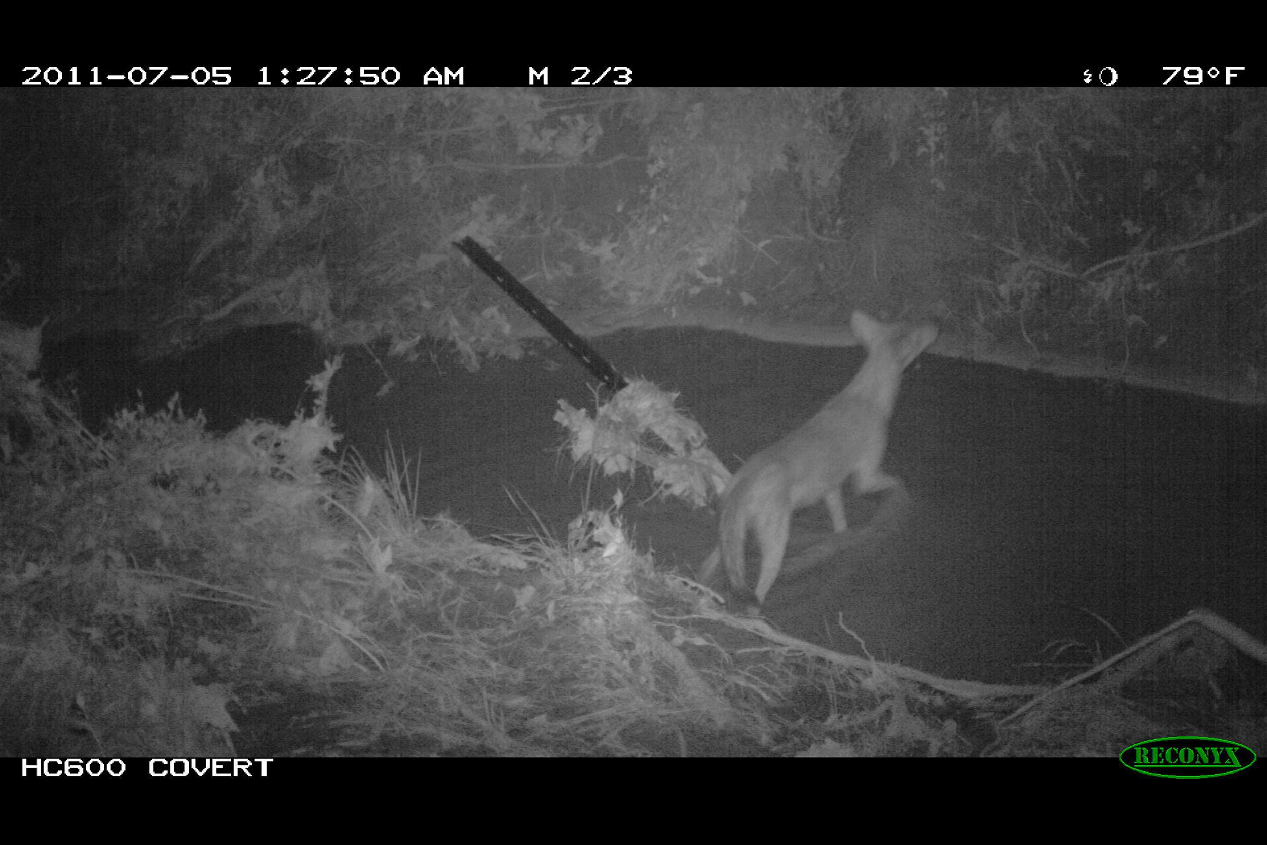 Coyote (Canis latrans) - The presence of upper level predators such as coyotes, bobcats, and owls suggests that numerous forage species are present in sufficient numbers to support the resident carnivores' diet.
