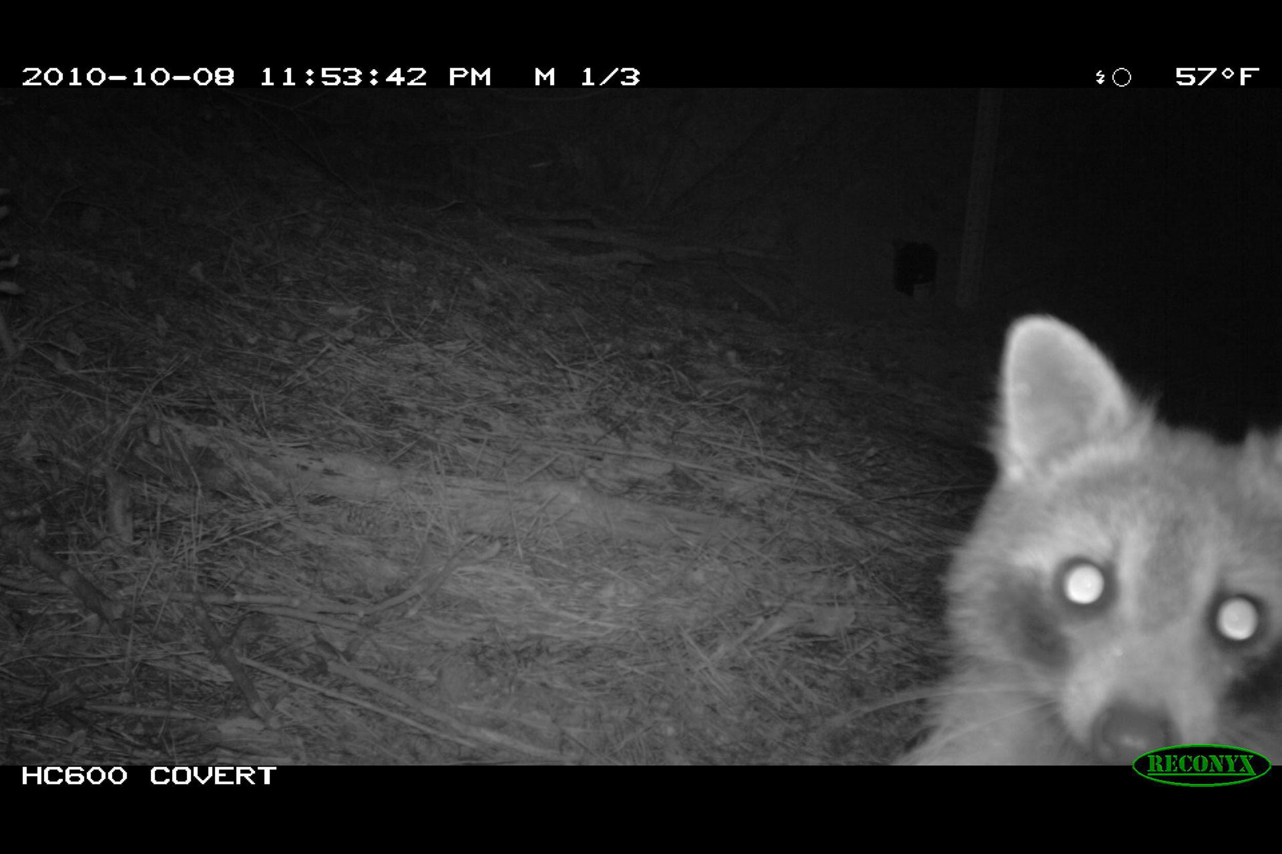 Raccoon (Procyon lotor) - Images captured with a game camera show that the wooded area within the development site provided habitat that supports numerous mammalian and avian wildlife.