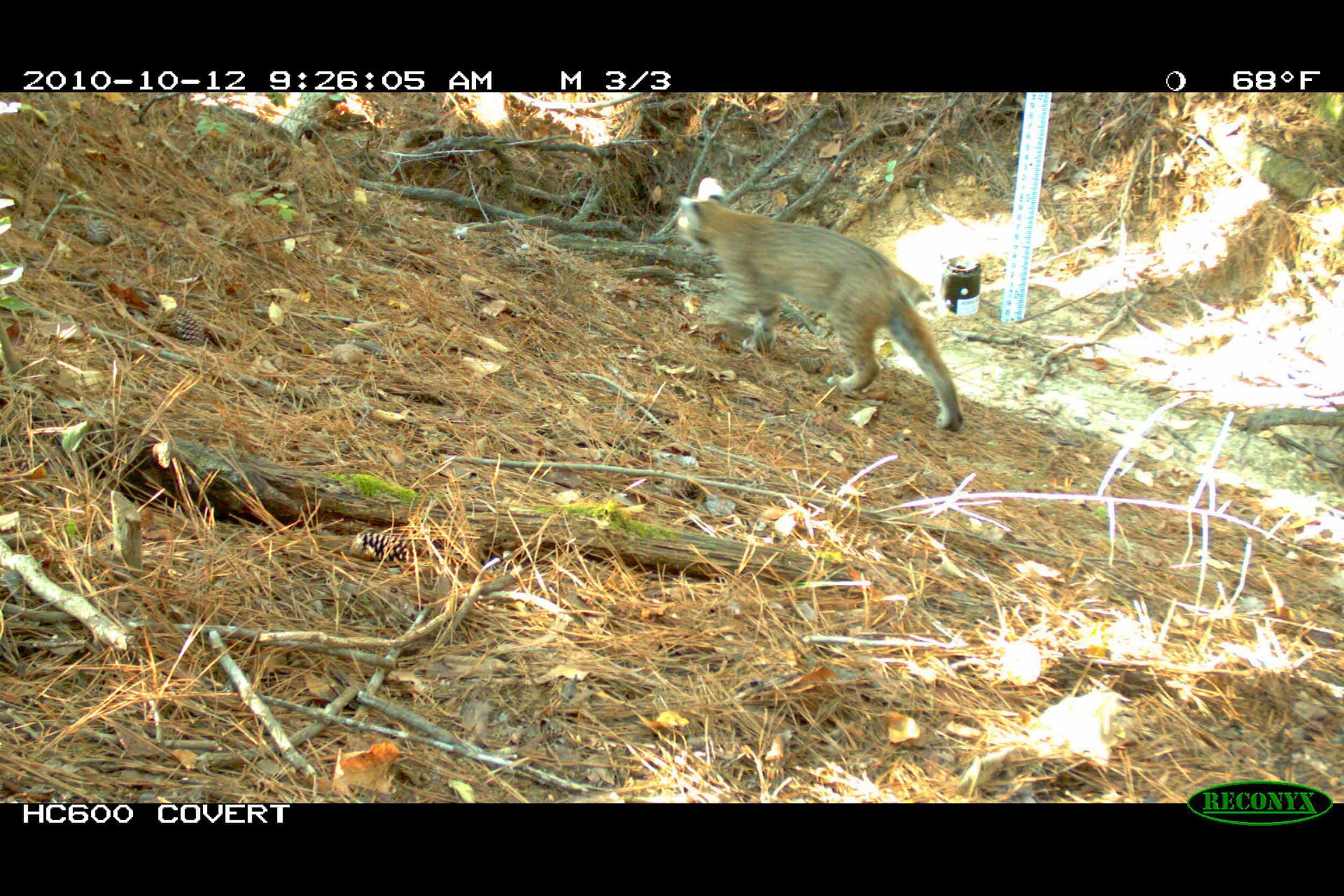 Bobcat (Lynx rufus) - The presence of upper level predators such as coyotes, bobcats, and owls suggests that numerous forage species are present in sufficient numbers to support the resident carnivore's diet.