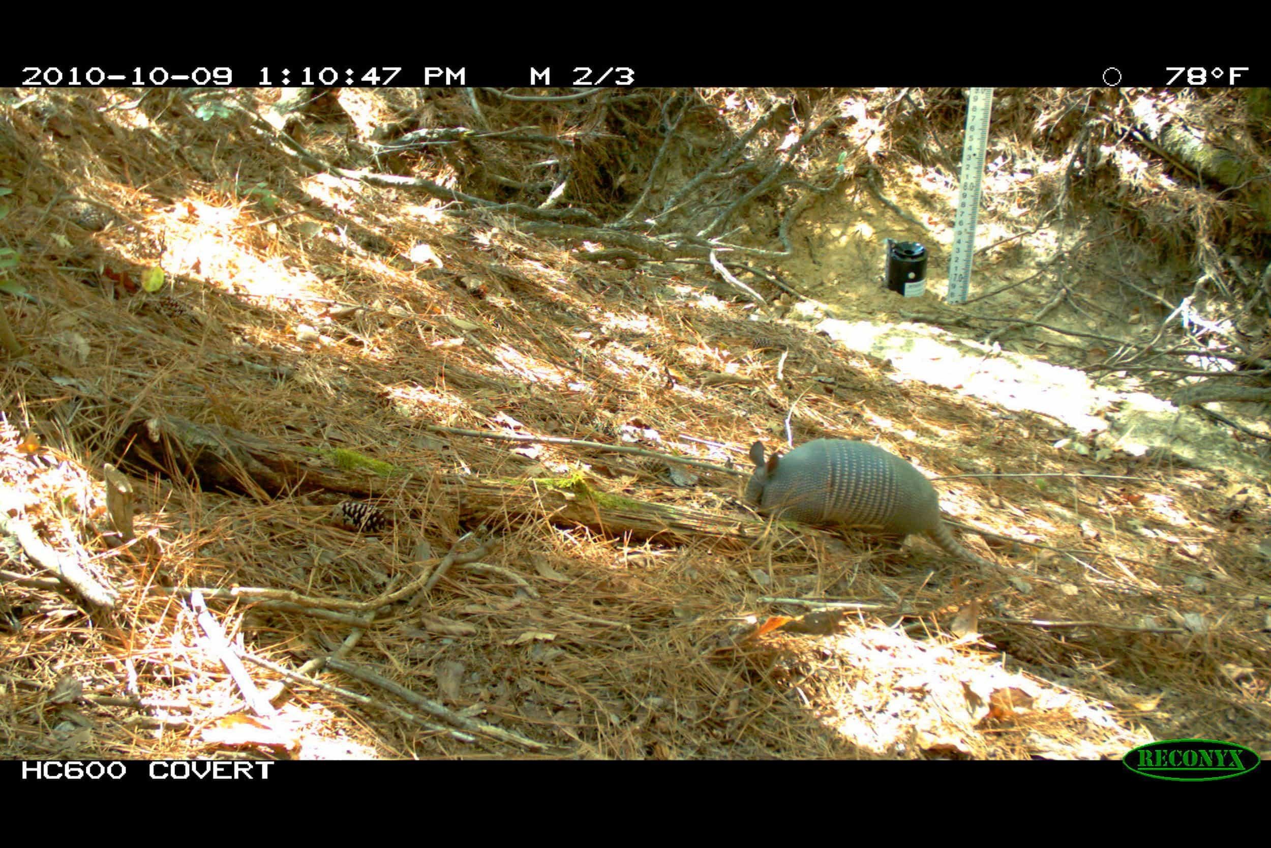 Nine-banded armadillo (Dasypus novemcinctus) - Images captured with a game camera show that the wooded area within the development site provided habitat that supports numerous mammalian and avian wildlife.