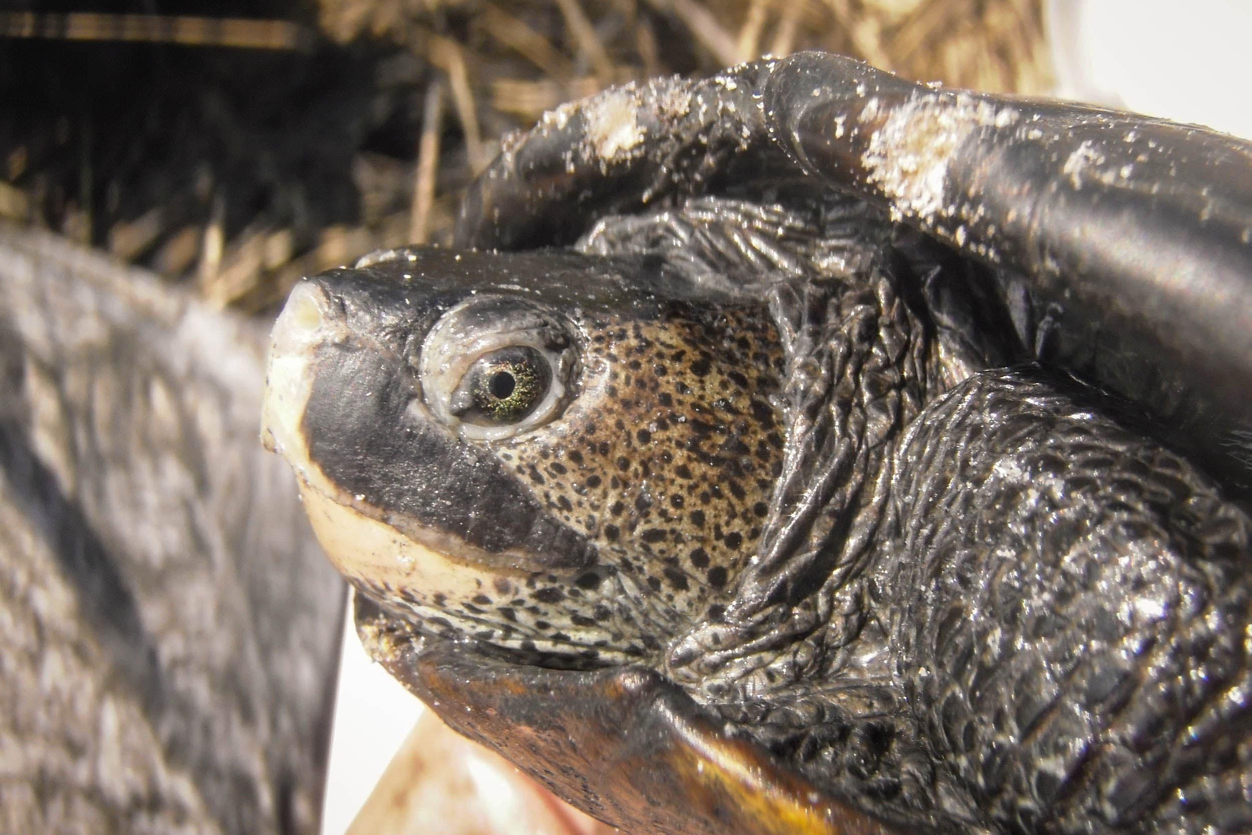 Texas Diamond-backed Terrapin (Malaclemys terrapin littoralis)