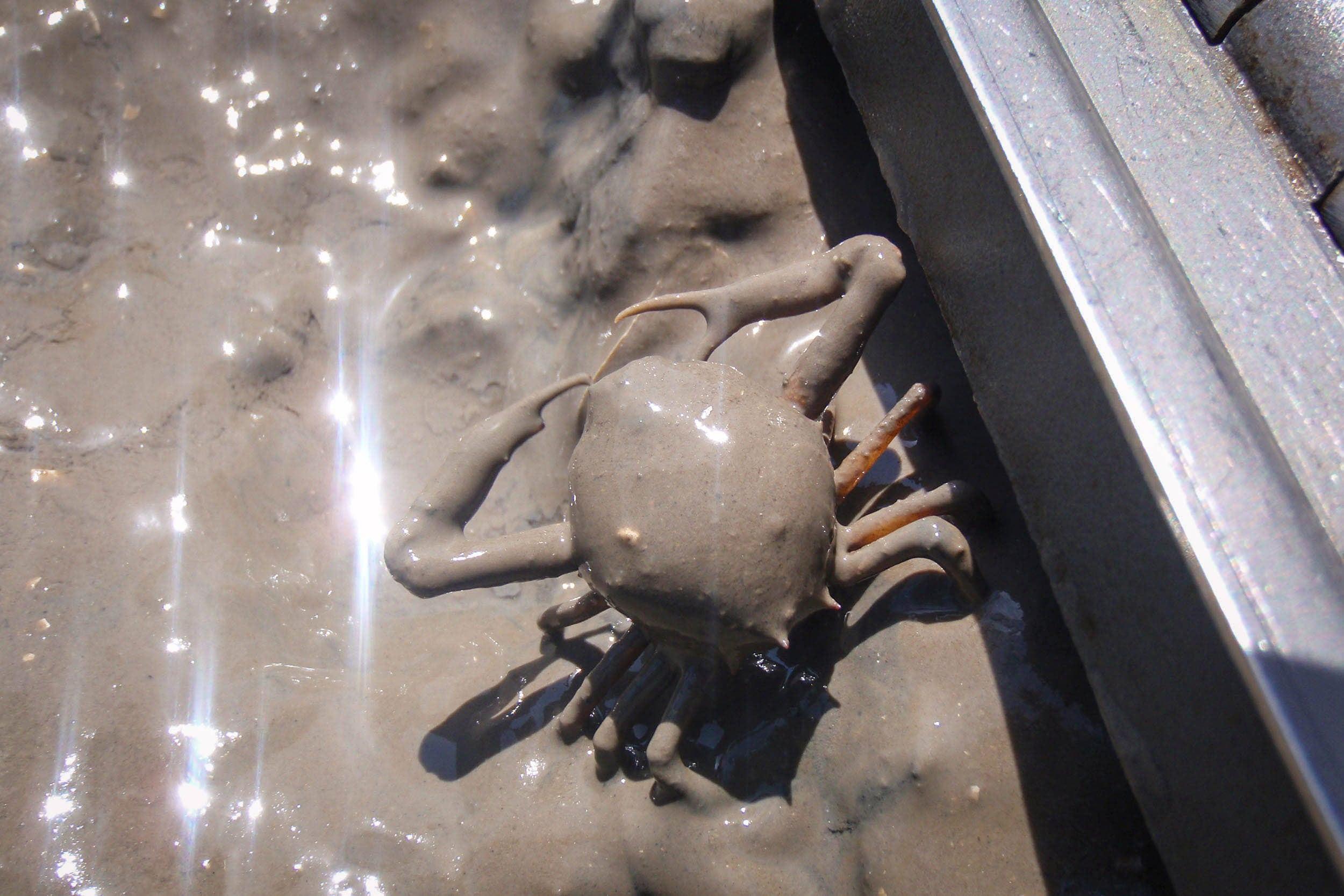Pink purse crab (Persephona crinita), Lavaca Bay