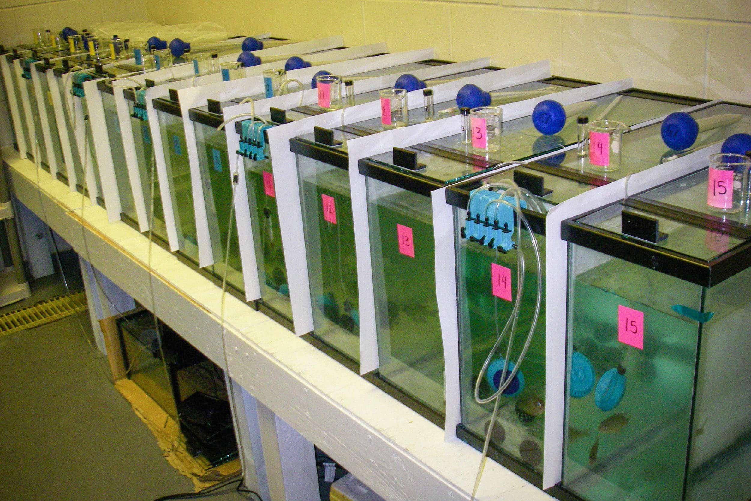 Set up of aquarium study using bluegill