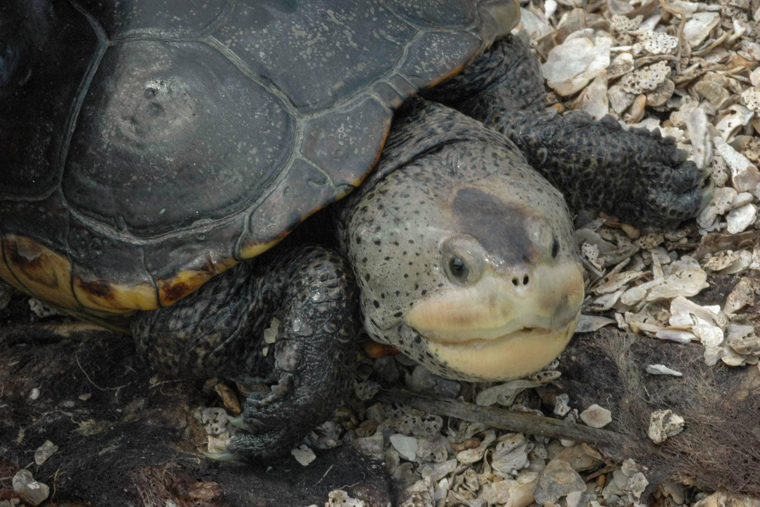 Female diamondback terrapins are much larger than the males.